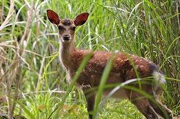 103 六月 美しい鹿.jpg