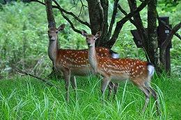 112 七月 親子の鹿.jpg