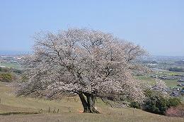 41  才尾の一本桜.jpg