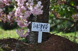 42 三月 河津桜.jpg