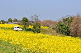 43  築城スキモノロードの菜の花.jpg
