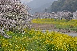 56 四月 犀川の桜.jpg