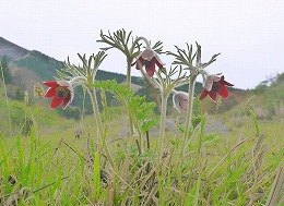 66 四月 根子岳のオキナグサ.jpg