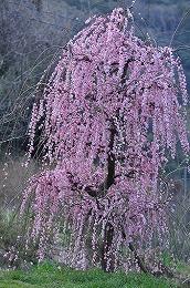 43 三月 えふの桜.jpg