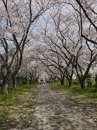 46 4月円応寺桜.jpg