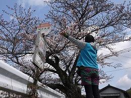 48 三月 名もなき桜.jpg
