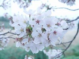 58  四月 土手の桜.jpg